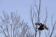 Propagação dourada juvenil de Eagle Wings Imagens de Stock