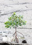 Propagated for mangrove trees. Propagated for mangrove trees on coastal area Stock Photography