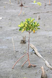 Propagated for mangrove trees. Stock Image