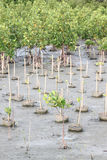 Propagated for mangrove trees. Propagated for mangrove trees on coastal area Royalty Free Stock Image