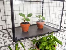 Propagated pilea peperomioides or pancake plants. Urticaceae in terracotta pots in a small greenhouse Royalty Free Stock Photo