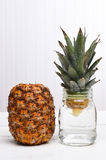 Propagating a Pineapple Royalty Free Stock Photo