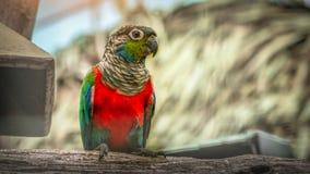 Propager rouge de perroquet en bois photographie stock