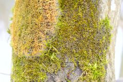 The properties are sometimes plant-like, but lichens are not plants. A lichen is a composite organism that arises from algae or cyanobacteria living among Stock Image