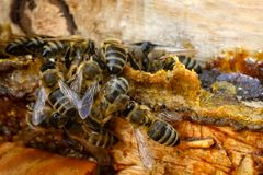 Free Propolis. Bee Glue. Bee Products. Apitherapy. Apiculture. Stock Photos - 122372903