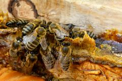 Free Propolis In The Middle Of A Hive With Bees. Bee Glue. Bee Products. Apitherapy. Apiculture. Royalty Free Stock Images - 121937839