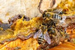 Free Propolis In The Middle Of A Hive With Bees. Bee Glue. Bee Products. Apitherapy. Apiculture. Stock Image - 121937881