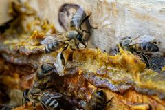 Free Propolis In The Middle Of A Hive With Bees. Bee Glue. Bee Products. Apitherapy. Propolis Treatment. Stock Images - 121806704