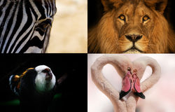 Proposal postcard group Animals. Group animals: lion, zebra, monkey and flamingo Royalty Free Stock Images