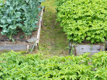Lyftta sängar av grönsaken planterar potatisbroccoli Arkivfoton