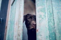 Propriétaire de attente de labrador retriever à la porte - Foyer sélectif sur le chien d'oeil Image stock