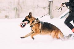 Propriétaire de Dog Running Near de berger allemand pendant la formation d'hiver Formation d'Alsacien adulte de race Wolf Dog Par images libres de droits