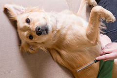 Propriétaire peignant son chien photographie stock libre de droits
