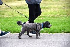 Propriétaires de chien marchant leur fouille Photos libres de droits