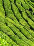 Propriedade do chá Foto de Stock Royalty Free