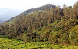 Propriedade do chá com árvores Fotos de Stock