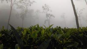 Propriedade do chá de Loolkadura Fotografia de Stock Royalty Free