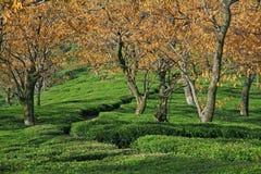 Proprietà del giardino di tè di Kangra India Immagini Stock Libere da Diritti