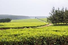 Proprietà del tè, Nandi Hills, altopiani del Kenya ad ovest Immagine Stock