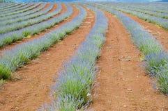 Proprietà della lavanda di Bridestowe - Tasmania Immagine Stock Libera da Diritti