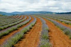 Proprietà della lavanda di Bridestowe - Tasmania Immagini Stock Libere da Diritti
