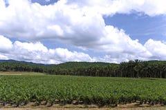 Proprietà della palma da olio Immagine Stock Libera da Diritti