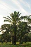 Proprietà della palma da olio Immagine Stock