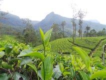 Proprietà Sri Lanka del giardino di tè Fotografia Stock Libera da Diritti