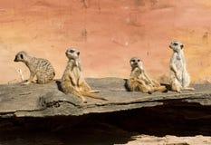 Proprietà terriera di Meerkat Immagine Stock