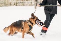 Proprietário de Dog Walking Near do pastor alemão durante o treinamento Estação do inverno Imagens de Stock