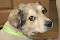 Proprietário de espera do cão triste Imagens de Stock Royalty Free