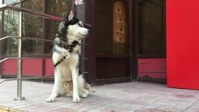 Proprietario aspettante del cane in bianco e nero triste vicino al negozio sulla via della città Cane aspettante del husky legato video d archivio