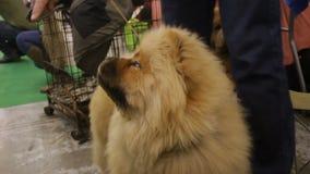 Proprietario che alimenta cane preparato, Chow Chow lanuginoso sveglio che ascolta i comandi, animali video d archivio