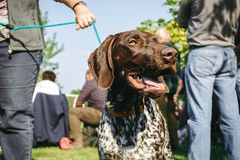 Proprietario che tiene il suo cane, puntatore dai capelli corti tedesco di caccia marrone, kurzhaar, Fotografia Stock