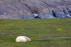Proprietario dell'orso polare artico Fotografia Stock