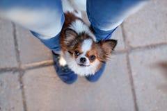 Proprietario delle gambe della chihuahua fotografia stock libera da diritti