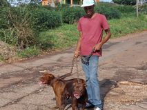 Proprietario e passeggiate matrici il suo Pit Bull fotografia stock libera da diritti