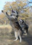Proprietario felice del cane Fotografia Stock Libera da Diritti