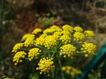 Fenouil fennel Foeniculum vulgare drome vercors royalty free stock photos