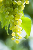 Prosecco grapes. Close up on a grape of prosecco with the sun ryes shining on it stock images