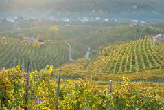 Prosecco hills. On Valdobbiadene area with grapes on an autumn morning royalty free stock image