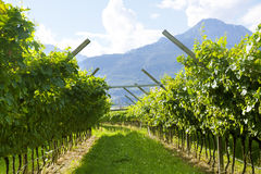 Prosecco Vineyard with green and yellow sunny leaves in Valdobiaddene, Italy. Agricultural nature for Prosecco wineries in Italy stock photo