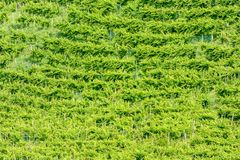Prosecco White Wine Vineyards , in Prosecco Valley, Vadobbiadene Treviso Italy. Background of green grass, beautiful photo digital picture royalty free stock photography