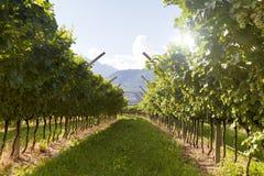 Prosecco winnica z zielenią i żółci pogodni liście w Valdobiaddene, Włochy Fotografia Royalty Free