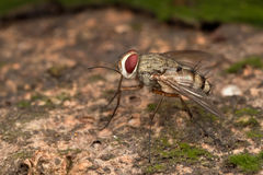 Prosena siberita fly Fly Royalty Free Stock Photos