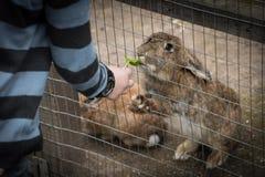 Prosić królika Obraz Royalty Free