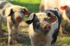 Prosiaczki na gospodarstwie rolnym Obrazy Stock