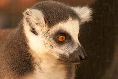 Prosimians de lémurs coupés la queue par anneau au soleil Photos stock
