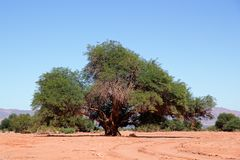 Prosopis tree Royalty Free Stock Photo
