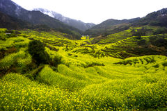 The Prospect of Jiangxi Wuyuan golden Rape Field. ,before Ching Ming Festival Royalty Free Stock Photo